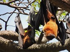 bats in Sri Lanka
